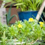 鉢植えはゴキブリに注意!隣の家の植木や花からもやってくる!